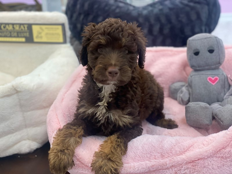 Aussiedoodle-DOG-Female-Chocolate and Tan-3231157-Furrylicious