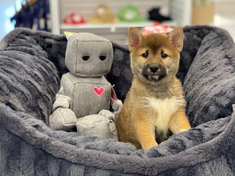 Shiba Inu-DOG-Male-Red Sesame-3238521-Furrylicious