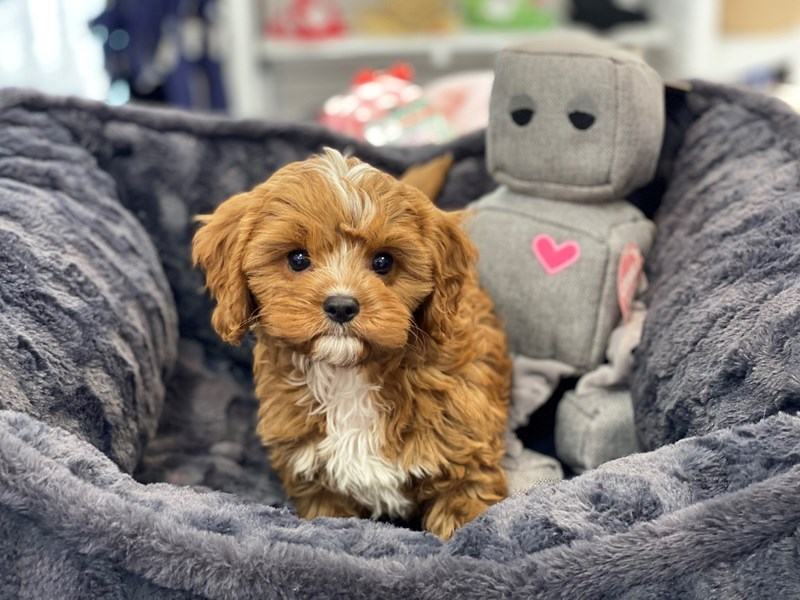 Cavapoo-Male-Red-3237878-Furrylicious