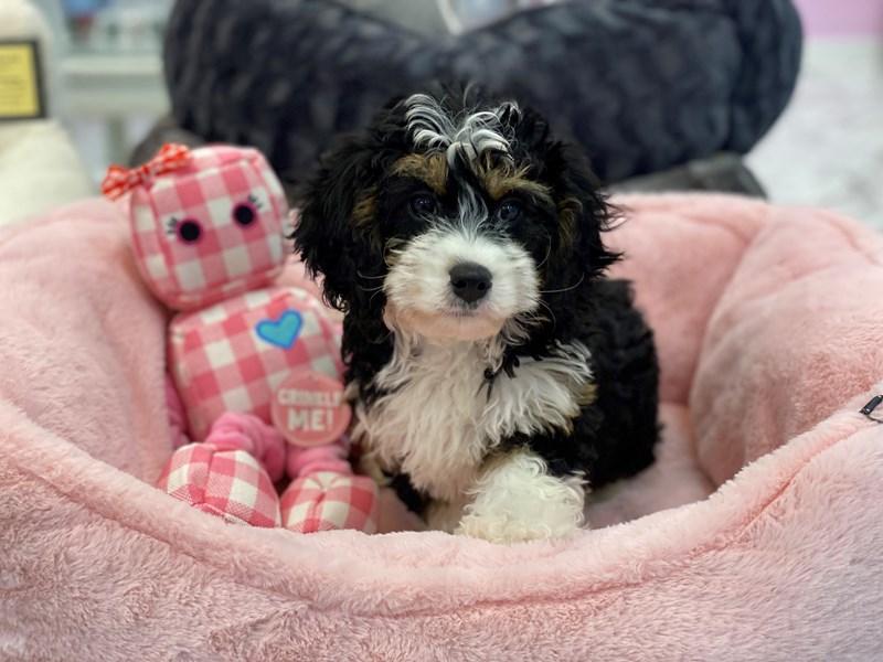 Mini Bernedoodlier-DOG-Female-Tri Colored-3238147-Furrylicious