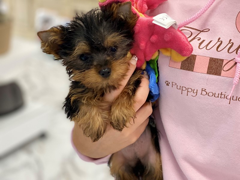 Yorkshire Terrier-Female-Black, White and Gold-3240642-Furrylicious