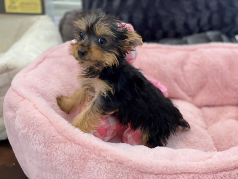Yorkshire Terrier-Female-Black, White and Gold-3240655-Furrylicious