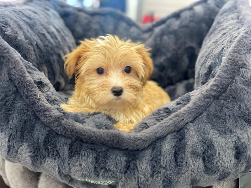 Morkie-Male-Gold and White Markings-3209020-Furrylicious