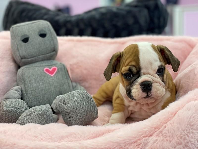 English Bulldog-Female-Red and White-3230057-Furrylicious