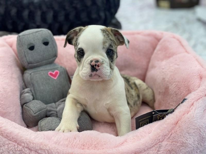 Victorian Bulldog-DOG-Female-Merle-3230135-Furrylicious
