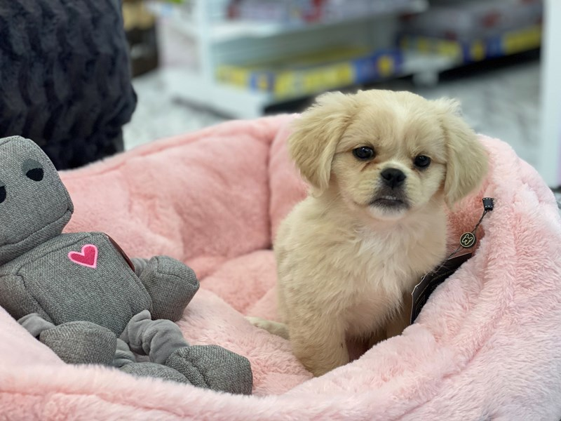 Pekingese/Beagle-DOG-Female-Cream / White-3230298-Furrylicious