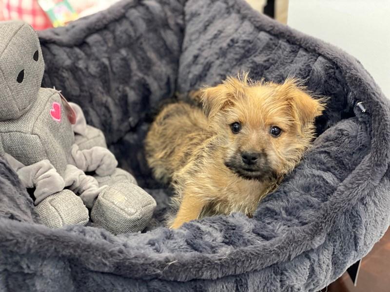 Cairn Terrier-Male-Wheaten-3237882-Furrylicious
