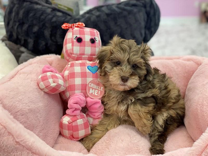 NewfyPoo Mini-DOG-Female-Chocolate Merle-3237954-Furrylicious