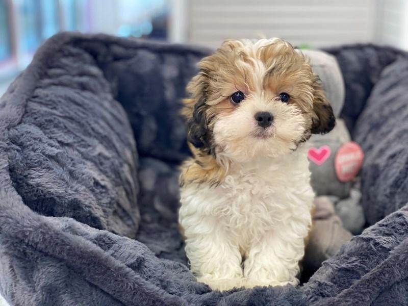Shipoo-DOG-Male-Sable and White-3240603-Furrylicious