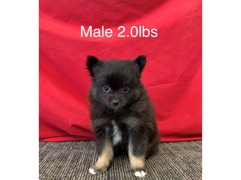 Pomeranian-Male-Black/Tan/White-3246254-Furrylicious