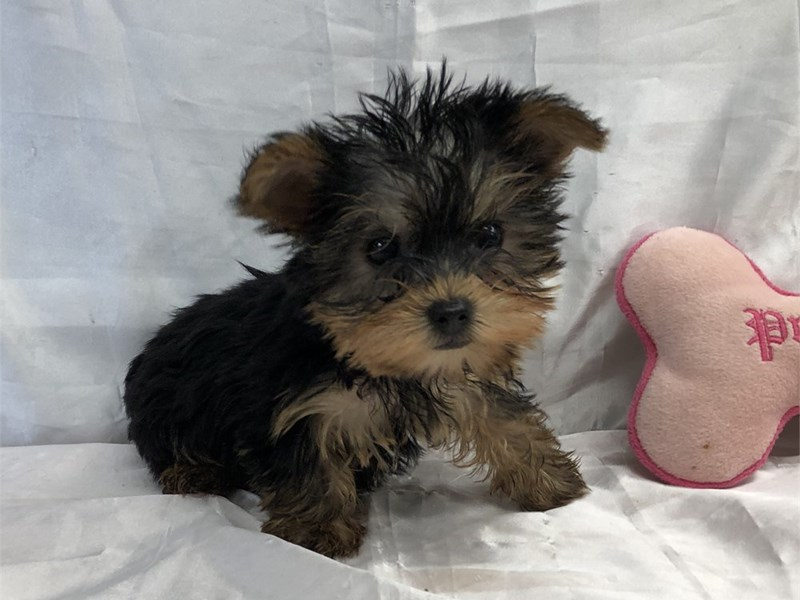 Yorkshire Terrier-Female-Black/Tan/White-3246280-Furrylicious