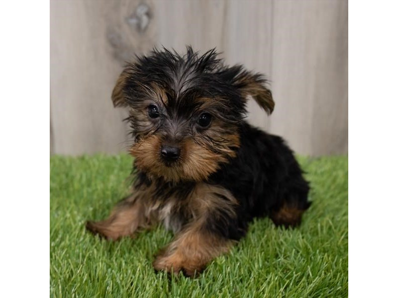 Yorkshire Terrier-Male-Black / Tan-3248269-Furrylicious