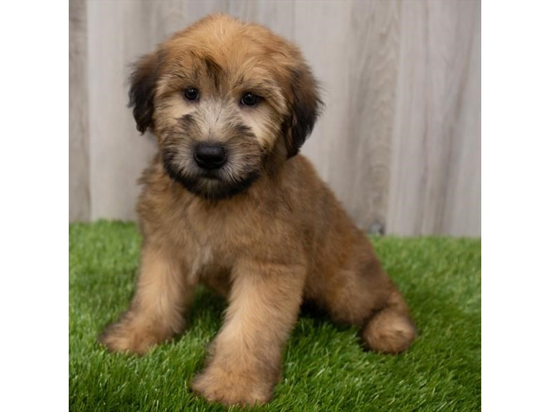 Soft Coated Wheaten Terrier-DOG-Male-Wheaten-3248271-Furrylicious
