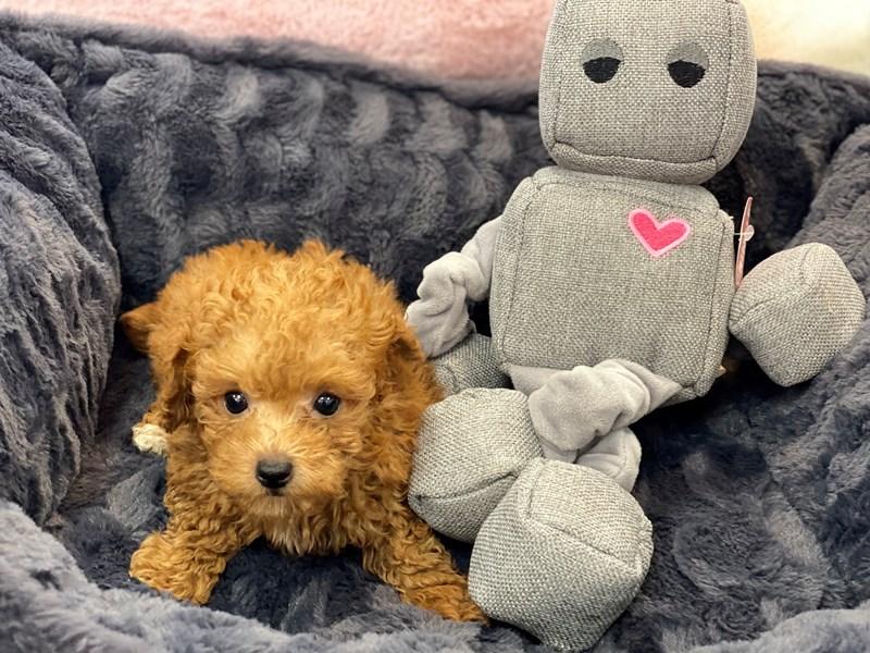 Poodle Mini-Male-Apricot-3246261-Furrylicious