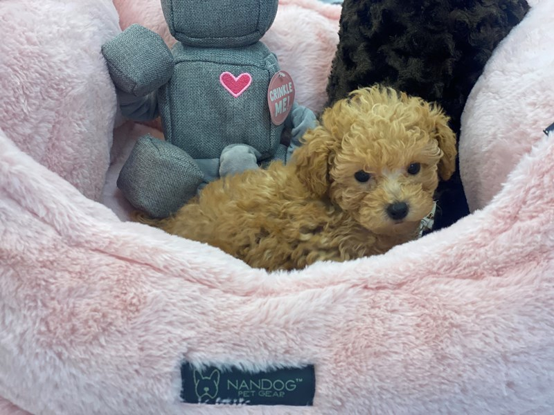 Poodle Mini-DOG-Female-Apricot-3246260-Furrylicious