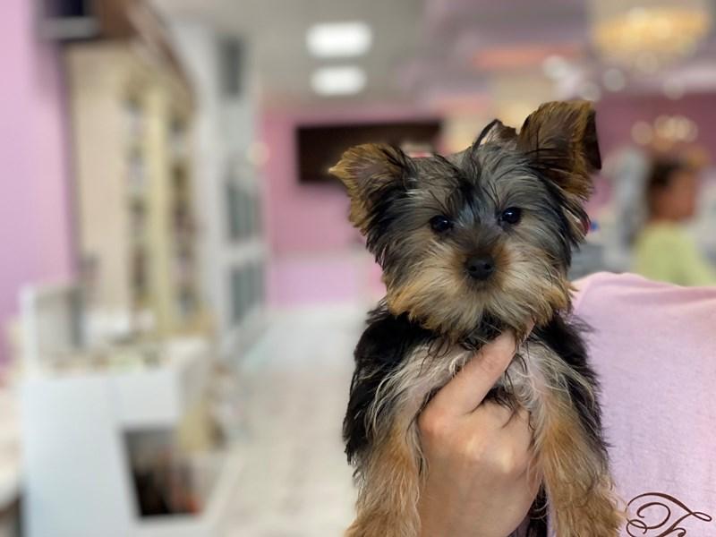 Yorkshire Terrier-Male-Black/Tan/White-3246288-Furrylicious
