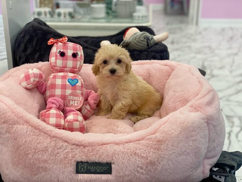 Havachon-DOG-Female-Cream-3259048-Furrylicious