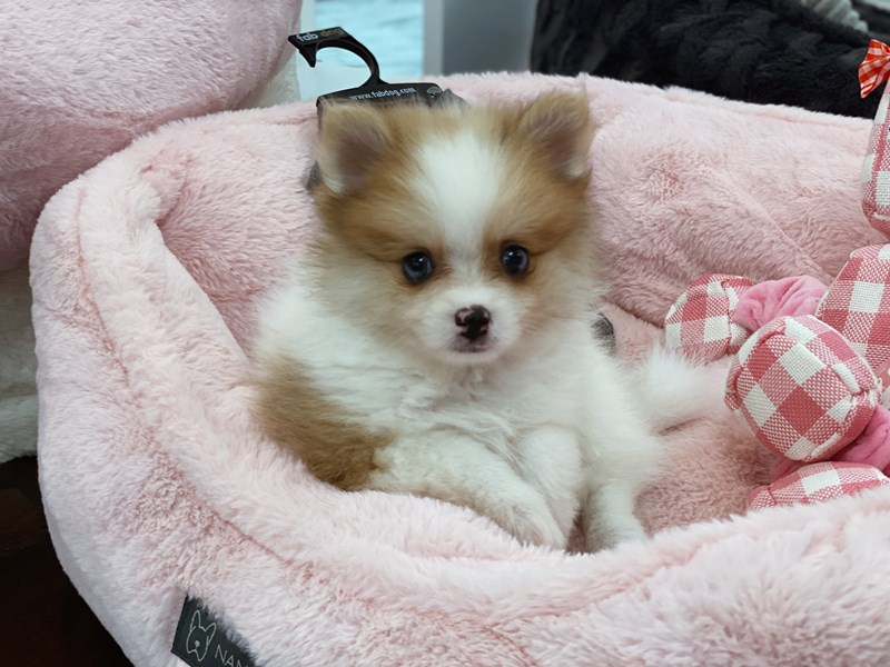 Pomeranian-Male-Red and white sable-3259422-Furrylicious